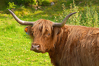 Hairy Highland longhorn cattle. Brown Smaland region. Sweden, Europe.