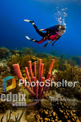 16 August 2005: Scuba diver Sally Herschorn glides effortlessly over a cluster of tube sponges in thirty feet of water at Captain Don's Habitat reef, off the coast of Bonaire, in the Netherland Antilles. Housing used was an Aquatica D100 with 8 inch dome port and single slim extension ring. Lighting with twin Ikelite 225s strobes on 1/4 Power setting....Mandatory Photo Credit: Ed Wolfstein Photo