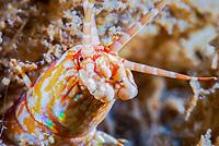 bobbit worm, Eunice aphroditois, Blue Heron Bridge, Lake Worth Inlet, Florida, USA, Atlantic Ocean