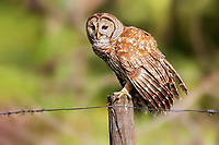 Barred Owl sitting on fence post with barbed wire fence