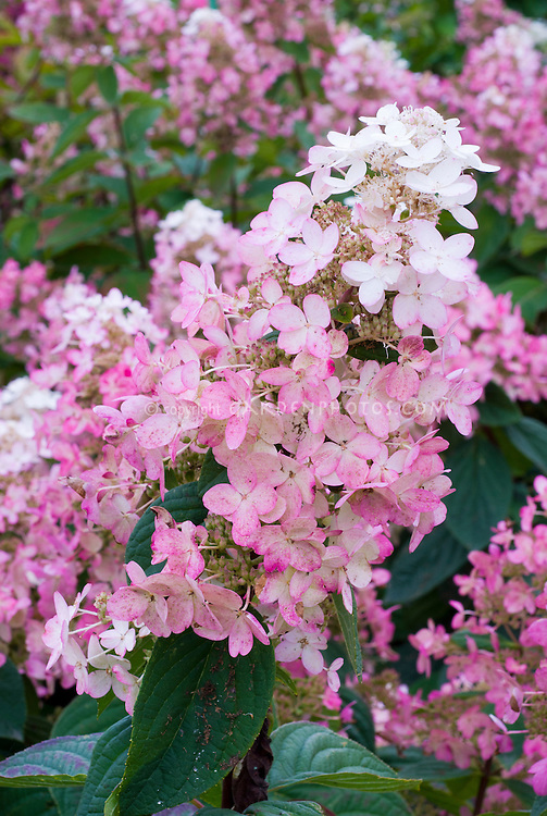 Hydrangea paniculata Pink Diamond shrub in bloom in autumn