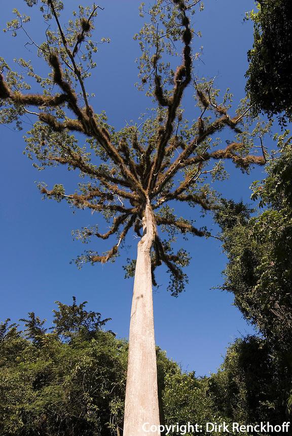 Kapok-Baum (Ceiba) im Tikal Nationalpark, Guatemala