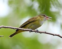 Adult yellow-green vireo