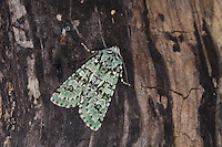 Grüne Eicheneule, Aprileule, Griposia aprilina, Dichonia aprilina, Merveille-du-Jour, Eulenfalter, Noctuidae, noctuid moths, noctuid moth
