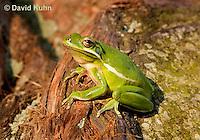 1218-1019  American Green Treefrog Sitting on Tree, Hyla cinerea  © David Kuhn/Dwight Kuhn Photography