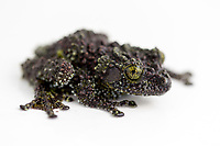 """Vietnamese Mossy Frog (Theloderma corticale) - Found in northern Vietnam, limestone cliffs and evergreen rainforests. - Listed on IUCN Red List but Data Deficient -  """"This species is threatened by forest damage in Tam Dao, which continues to be significant . Clear-cutting at Mao Son has also reduced the available habitat for this species. This is one of the few regional frog species for which there is a specific demand in the global pet trade."""" IUCN Red List website"""