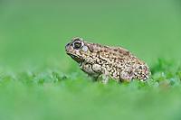 Texas Toad (Bufo speciosus), adult portrait, Dinero, Lake Corpus Christi, South Texas, USA