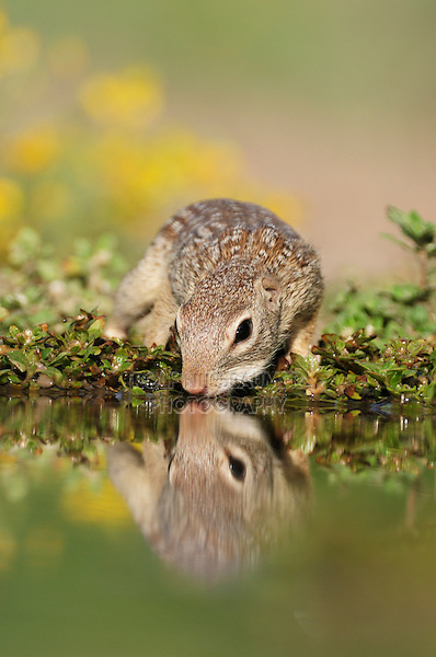 Mexican Ground Squirrel (Spermophilus mexicanus), adult drinking, Laredo, Webb County, South Texas, USA