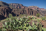 Prickly pear cactus above Phantom Ranch in Grand Canyon National Park, northern Arizona. .  John offers private photo tours in Grand Canyon National Park and throughout Arizona, Utah and Colorado. Year-round.