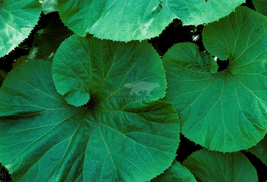 Groot hoefblad (Petasites hybridus).