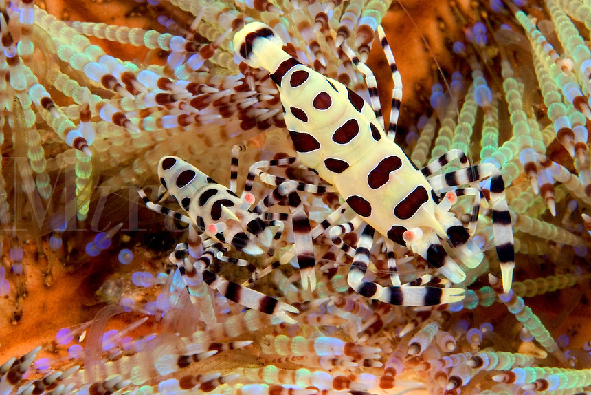 The larger of these two coleman shrimp, Periclimenes colemani, is the female.  This pair clears a section of the fire urchin, Asthenosoma varium, of tube feet and spines where they live unharmed.  Mabul Island, Malaysia.