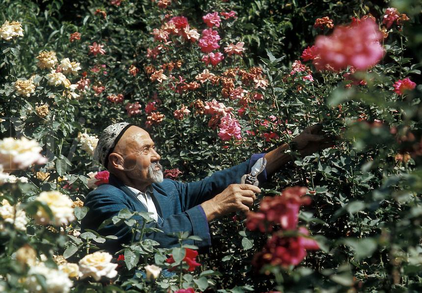 Old Uzbek man taking care of his rose garden, Tashkent, Uzbekistan, then part of the USSR