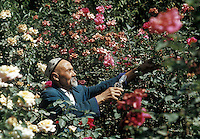 Old Uzbek man taking care of his rose garden, Tashkent, Uzbekistan, then part of the USSR