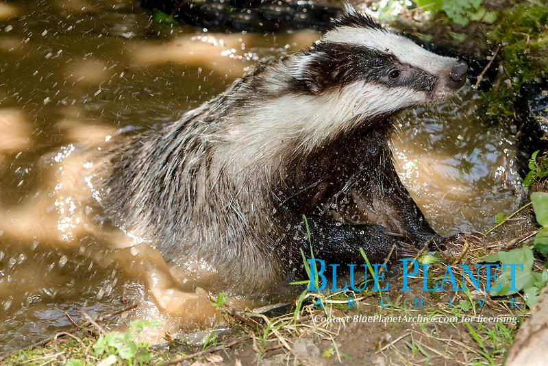 European badger, or Eurasian badger, Meles meles, bathing, Normandy, France, Europe
