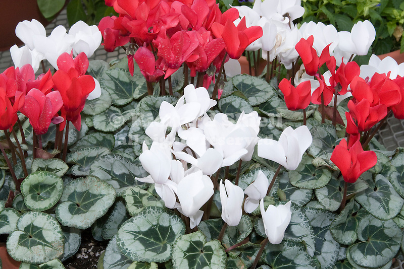 STERLING RED AND STERLING WHITE CYCLAMEN PERSICUM HYBRIDS