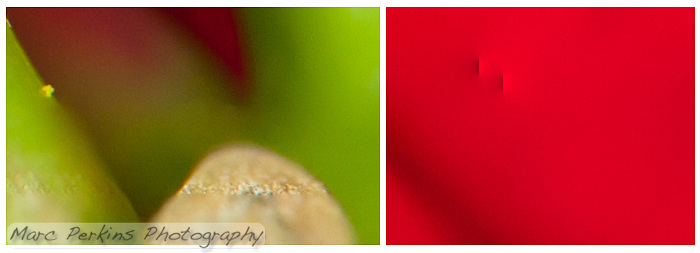 """Close-in (100% crop) views of two blending errors Photoshop CS5 made while blending my eight-image Poinsettia female flower series.  On the left Photoshop has selected a line of the plant at the correct focus, but then used incorrect focal planes for the remainder of the stem.  On the right photoshop has added what I call """"points"""" or """"bars"""" of light; blending errors (often near the edge of an image) where Photoshop inexplicably adds in a bright streak or point."""