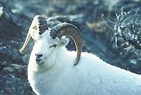 Dall Sheep Ram seen in Alaska