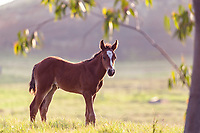 A curious foal poses in the beautiful golden hour sunlight over a Waiki'i Ranch field in Kamuela, Big Island.