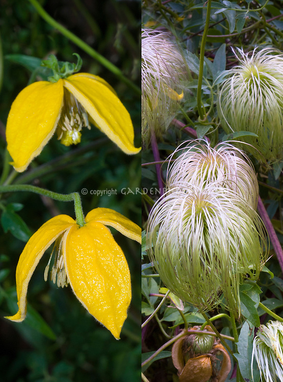Clematis tangutica climbing vine with yellow flowers and seedheads