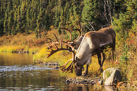 Bull Caribou drink from the waters of Wonder lake, Denali National Park, Alaska