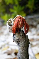 Hermit Crab on South Island, Cocos Keeling Islands, Indian Ocean