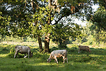 Brazoria County, Damon, Texas; three light colored cows feeding in the pasture beneath live oak trees, in early morning sunlight