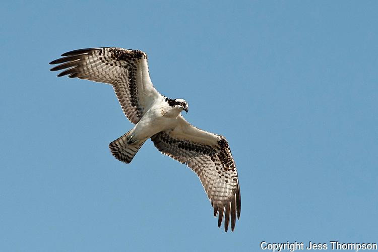 Osprey, Inks Dam Fish Hatchery, Burnet, Texas