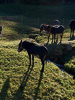 Mulis bei Valchava im Val Müstair-Münstertal, Engadin, Graubünden, Schweiz, Europa<br /> Mules near Valchava, Val Müstair-Münster Valley, Engadine, Grisons, Switzerland