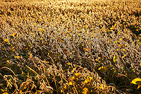 Soybean crop ready for harvest.