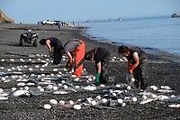 Setnetters from Kay Andrews' family pick fish out of a gill net in Ekuk, Alaska on the Nushagak River in Bristol Bay on July 5, 2019. (Photo by Karen Ducey)