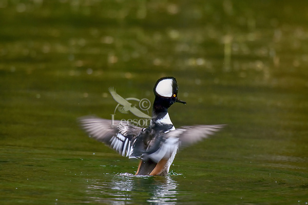 Male Hooded Merganser (Lophodytes cucullatus) drying wings in old beaver pond along Hoh River, Olympic National Park, WA.  Late Fall.