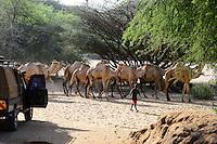 KENYA Marsabit, Rendile pastoral tribe, village Ngurunit, cattle herder with camels in dry river bed of river Ngurunit searching for water and pasture / KENIA, Marsabit, Dorf Ngurunit, Rendile Hirten mit Kamelen im trockenen Flussbett des Fluss Ngurunit auf Suche nach Wasser und Futter