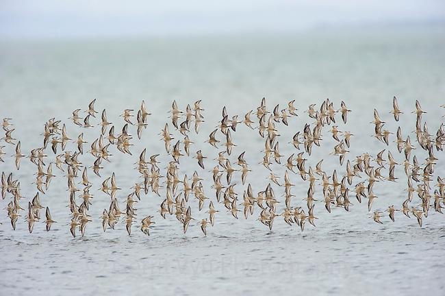 Migratory flock of Western Sandpipers (Calidris mauri) over and estuary. Gray's harbor, Washington. September.
