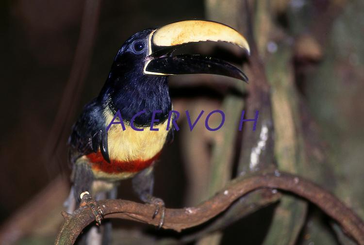 """Tucano <br /> araçari-castanho<br /> <br /> <br /> O araçari-castanho é uma ave Piciforme da família Ramphastidae.<br /> <br /> Seu nome significa: do (grego) pteros = pena, asa; e glössa = língua; pteroglossus = com língua emplumada e do (grego) kastanon = castanho; e ötis, ötos = orelhudo, orelha; castanotis = orelhudo castanho. ⇒ Ave de orelha castanha com a língua emplumada.<br /> <br /> Um exemplar desta espécie foi a mascote de Helmut Sick quando o mesmo participou da Expedição Roncador-Xingu-Tapajós, com os irmãos Villas-Boas. Foi presente de um índio Kamaiurá, e pelos costumes desses índios, seria uma ofensa recusar. """"Um dia me apareceu Sawa-Kabá, um Kamaiurá de meia-idade, com um filhote de araçari ( Pteroglossus castanotis). Ofereceu-me a ave, que ele chamava de Tukani, eu eu, não podendo resistir, dei-lhe em troca um bonito facão. Tukani, que significa tucano pequeno, é o nome dado pelos índios a esses parentes menores dos tucanos, que, como eles, aninham-se em ocos de árvores. Um filhote de araçari é algo de considerável valor, já que nem para um índio é fácil localizar e alcançar seus ninhos na mata virgem e alta"""".<br /> <br />  <br /> São designadas por tucano as aves da família Ramphastidae que vivem nas florestas da América Central e América do Sul. Possuem um bico grande e oco. A parte superior é constituída por trabéculas de sustentação e a parte inferior é de natureza óssea. Não é um bico forte, já que é muito comprido e a alavanca (maxilar) não é suficiente para conferir tal qualidade. Seu sistema digestivo é extremamente curto, o que explica a sua base alimentar, já que as frutas são facilmente digeridas e absorvidas pelo trato gastrointestinal.<br /> Carajás, Pará, Brasil.<br /> Foto Paulo Santos"""