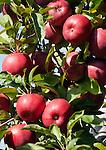 Italy, Alto Adige - Trentino (South Tyrol), Community Appiano sulla Strada del Vino: Red Delicious apple | Italien, Suedtirol, bei Bozen, Gemeinde Eppan: der Red Delicious - zu Deutsch auch Roter Koestlicher Apfel