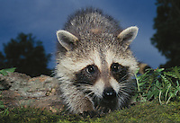 Baby raccoon, Pyron locotor, peers down from tree branch close up