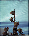 2003 - Nature - White Sands, New Mexico. Aplant that grows on the sand dunes of White sands national monument park in Southern New Mexico. Scenes from the great state of New Mexico. Along Route 66 and down towards White Sands National Monument..©Andrew Kaufman