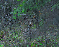 Mule deer doe peering through the bush.