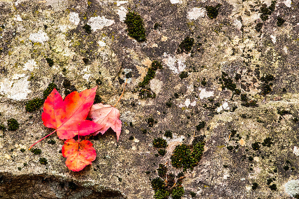 Three red leaves on moss covered rock