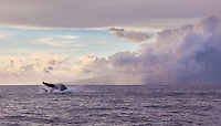 Humpback whale finishing a breach off the coast of Maui, with Lanai in the background