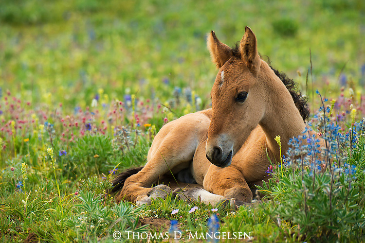 A young Wild Horse call rests in a flower filled field in the Pryor Mountains, Montana.