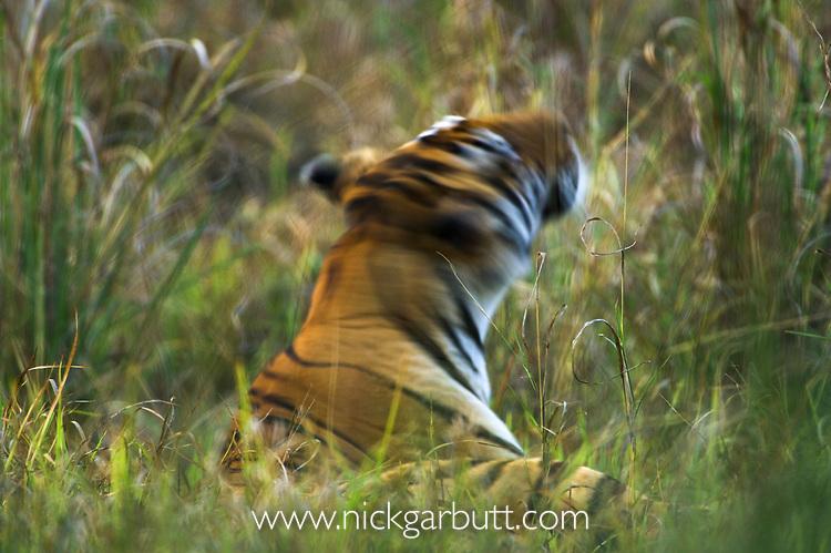 Female Bengal Tiger (Panthera tigris tigris) scratching while resting in long grass. Bandhavgarh National Park, Madhya Pradesh, India.