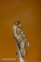 "1110-0803  Malaysian Dead Leaf Mantis ""Details of Foreleg"", Deroplatys lobata © David Kuhn/Dwight Kuhn Photography."