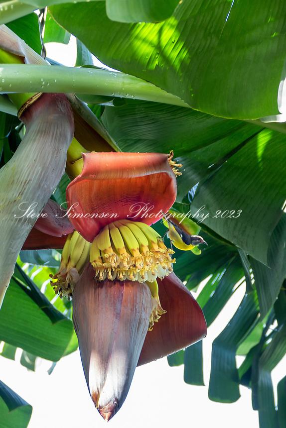 Banana Quit on a banana blossom<br /> St. John<br /> Virgin Islands