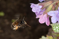 Gemeine Pelzbiene, Pelz-Biene, Frühlings-Pelzbiene, Frühlingspelzbiene, Weibchen, Anthophora acervorum, Anthophora plumipes, im Flug, Blütenbesuch an Lungenkraut, Nektarsuche, Bestäubung, common Central European flower bee