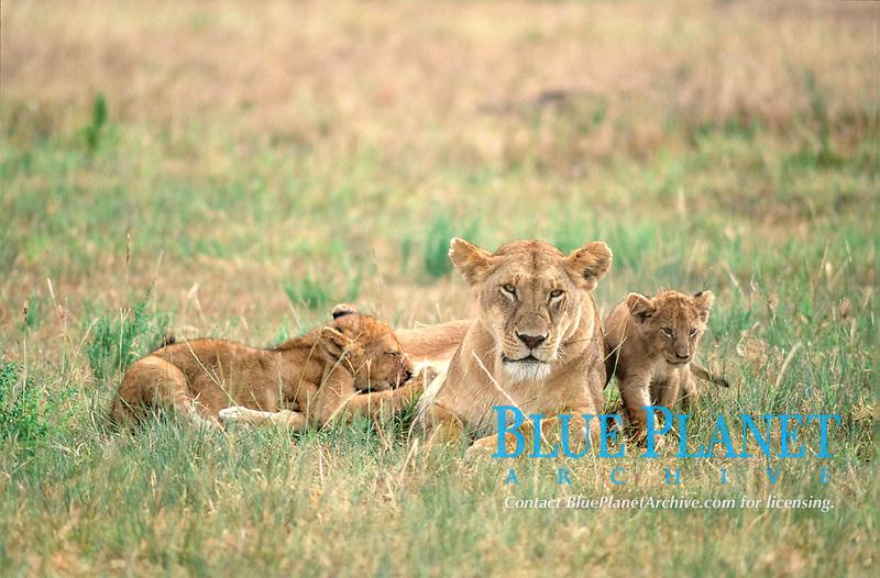 Lioness ( Panthera leo ) with suckling cubs - Masai Mara - Kenya
