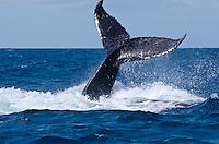 Humpback Whales<br /> Silver Bank<br /> Dominican Republic