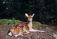 Fallow Deer, Dama dama , female, captive, Goldau, Switzerland, Europe