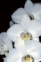 Phalaenopsis amabilis 'Tai Tong' orchid species