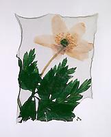 Wood Anenome ( Anenome nemorosa ) -  Wild  flowers Wild Garlic- Polaroid lift.